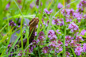 Common European adder (Viper berus berus) on alpine meadow in spring, Austria.  -  Klein & Hubert