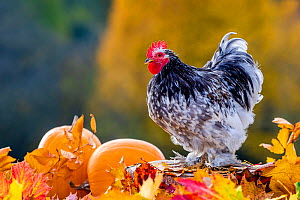 Pekin rooster walking in dead leaves in autumn, France.  -  Klein & Hubert