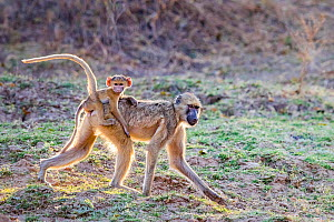 Chacma baboon (Papio ursinus) female carrying her young on her back, Luangwa National Park, Zambia.  -  Klein & Hubert
