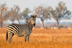 Crawshay's zebra (Equus quagga crawshayi) in savanna , South Luangwa National Park, Zambia.  -  Klein & Hubert