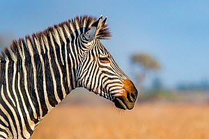 Crawshay's zebra (Equus quagga crawshayi) portrait, South Luangwa National Park, Zambia.  -  Klein & Hubert