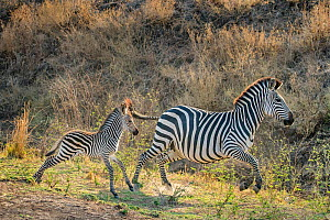 Crawshay's zebra (Equus quagga crawshayi) mare and foal running in savanna , South Luangwa National Park, Zambia.  -  Klein & Hubert