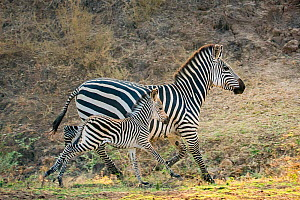 Crawshay's zebra (Equus quagga crawshayi) mare and foal running in savanna, South Luangwa National Park, Zambia.  -  Klein & Hubert