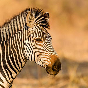 Crawshay's zebra (Equus quagga crawshayi) portrait , South Luangwa National Park, Zambia.  -  Klein & Hubert