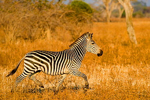 Crawshay's zebra (Equus quagga crawshayi) stallion trotting in savanna , South Luangwa National Park, Zambia.  -  Klein & Hubert