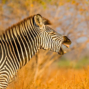 Crawshay's zebra (Equus quagga crawshayi) portrait of adult yawning , South Luangwa National Park, Zambia.  -  Klein & Hubert
