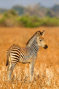 Crawshay's zebra (Equus quagga crawshayi) foal in savanna , South Luangwa National Park, Zambia.  -  Klein & Hubert