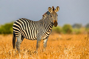 Crawshay's zebra (Equus quagga crawshayi) stallion in savanna , South Luangwa National Park, Zambia.  -  Klein & Hubert