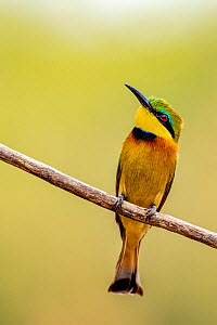 Little bee-eater (Merops pusillus) perched on branch. South Luangwa National Park, Zambia  -  Klein & Hubert