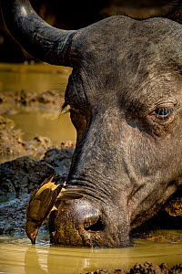 African buffalo (Syncerus caffer) drinking at water hole in dry season and Red-billed oxpeckers (Buphagus erythrorhynchus) on head, South Luangwa National Park, Zambia.  -  Klein & Hubert