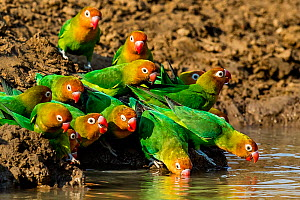 Nyasa or Lilian's lovebirds (Agapornis Lilianae) drinking in pond. South Luangwa National Park, Zambia.  -  Klein & Hubert