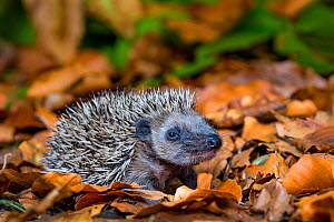 Baby Common hedgehog (Erinaceus europaeus) age 18 days in dead leaves, in forest, France. Controlled conditions. - Klein & Hubert