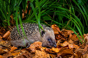 Young Common hedgehog (Erinaceus europaeus) in a forest in summer, France. Controlled conditions. - Klein & Hubert