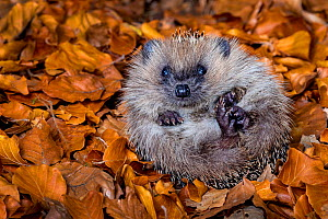 Young Common hedgehog (Erinaceus europaeus) partly rolled up in a ball in dead leaves, in autumn, France. Controlled conditions. - Klein & Hubert