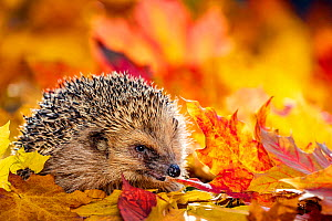 Common hedgehog (Erinaceus europaeus) in dead leaves in autumn, France. Controlled conditions. - Klein & Hubert