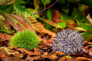 Common hedgehog (Erinaceus europaeus) young age 18 days, walking in forest through dead leaves and between chestnuts, France. Controlled conditions. - Klein & Hubert