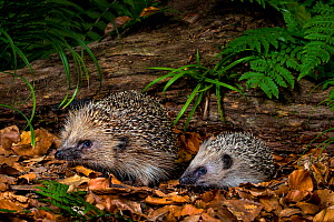 Young Common hedgehog (Erinaceus europaeus) with his mother in a forest in summer, France. Controlled conditions. - Klein & Hubert