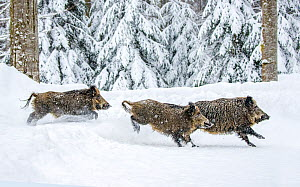 Three European wild boars (Sus scrofa) running in snow in winter, Germany. Captive.  -  Klein & Hubert
