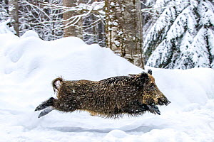European wild boar (Sus scrofa) running and jumping in snow, Germany. Captive.  -  Klein & Hubert