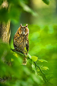 Long-eared owl (Asio otus) on beech tree in forest in spring, France. Controlled conditions  -  Klein & Hubert