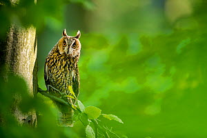 Long-eared owl (Asio otus) on beech tree in forest in spring France. Controlled conditions  -  Klein & Hubert