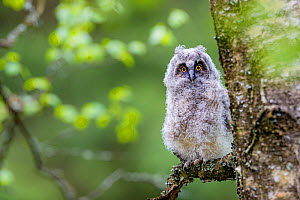 Long-eared owl (Asio otus) chick on branch in spring France. Controlled conditions  -  Klein & Hubert