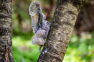 Long-eared owl (Asio otus) chick climbing on a birch in spring France. Controlled conditions  -  Klein & Hubert