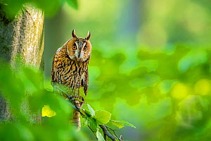 Long-eared owl (Asio otus) on beech tree in forest in spring France Controlled conditions  -  Klein & Hubert