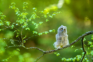 Long-eared owl (Asio otus) chick on branch in spring, France. Controlled conditions  -  Klein & Hubert