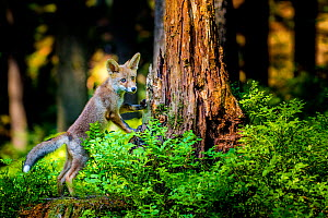 Red fox (Vulpes vulpes) pup standing against a stump in forest in spring, France.  -  Klein & Hubert