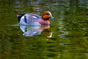 Wigeon (Anas penelope) male in the water, France.  -  Klein & Hubert