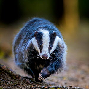 European badger (Meles meles) running in pine forest in spring, France.  -  Klein & Hubert