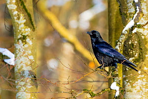 Carrion crow (Corvus corone) on perched on common Beech, France, March.  -  Klein & Hubert