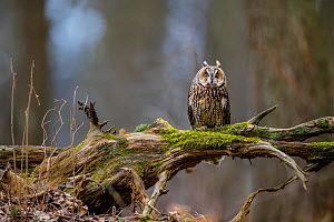 Long-eared owl (Asio otus) on mossy branch in forest in spring, France. April. Controlled conditions  -  Klein & Hubert