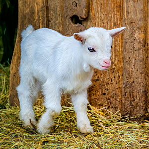 Domestic pygmy goat kid, Germany  -  Klein & Hubert