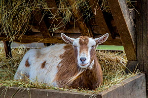 Domestic goat lying in trough, Germany.  -  Klein & Hubert