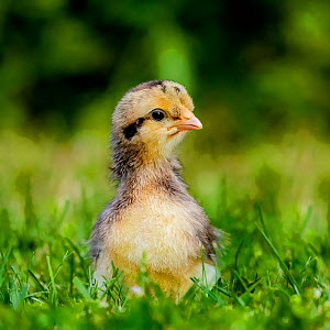 Domestic chicken chick in grass in summer, France.  -  Klein & Hubert