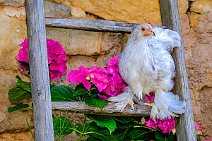 Dwarf Cochin hen on ladder near Hydragea flowers in summerm France.  -  Klein & Hubert