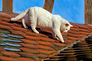 White Cat walking on tile covered roof, France.  -  Klein & Hubert