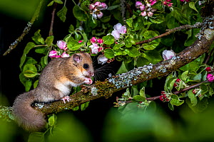 Fat / Edible dormouse (Glis glis) on branch of flowering apple tree in spring, France. Controlled conditions  -  Klein & Hubert