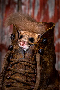 Fat / Edible dormouse (Glis glis) using an old shoe as shelter in a cellar, France. Controlled conditions  -  Klein & Hubert