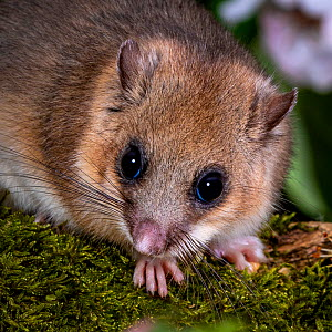 Fat / Edible dormouse (Glis glis) on a mossy branch in flowering quince tree in spring, France. Controlled conditions  -  Klein & Hubert