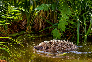 Common hedgehog (Erinaceus europaeus) swimming in pond in summer, France. Controlled conditions. - Klein & Hubert