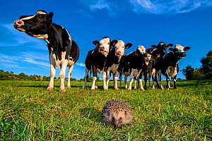 Common hedgehog (Erinaceus europaeus) walking in a pasture in summer after being approached by curious cows, France. Controlled conditions. - Klein & Hubert