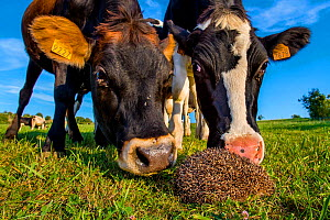 Common hedgehog (Erinaceus europaeus) in a pasture in summer and rolling into ball for safety as it is sniffed by two curious cows, France. Controlled conditions. - Klein & Hubert