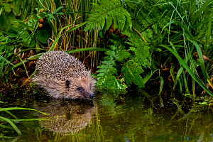 Common hedgehog (Erinaceus europaeus) walking into pond in summer, France. Controlled conditions. - Klein & Hubert
