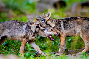 Grey wolf (Canis lupus lupus) cubs age two and half months playing in forest in spring, France. Captive.  -  Klein & Hubert