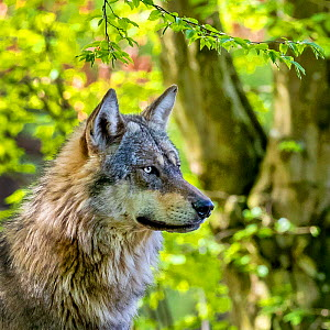 Grey wolf (Canis lupus lupus) standing in forest in spring, France.  Captive.  -  Klein & Hubert