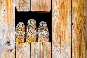 Common kestrel (Falco tinnunculus) three fledglings sitting on barn, France.  -  Klein & Hubert