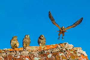 Common kestrel (Falco tinnunculus) four fledglings on roof, one exercising wings France.  -  Klein & Hubert